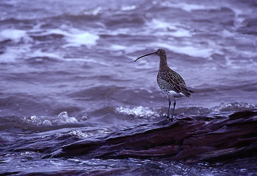 Sea bird Wirral